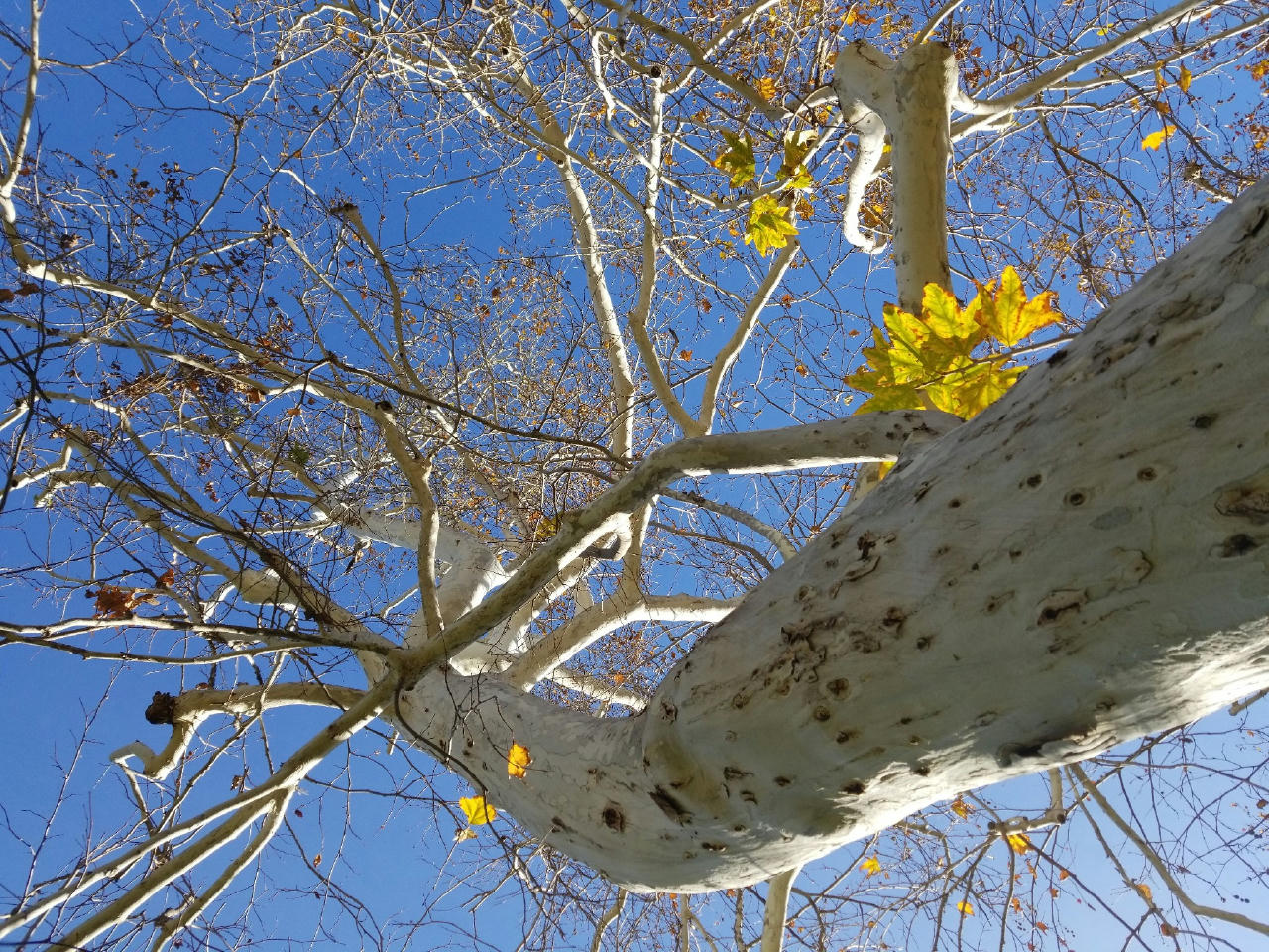 View looking up toward a clear blue sky through mostly bare branches above. A couple of yellow leaves still attached